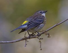 Yellow-rumped Warbler (AllHarts) Tags: yellowrumpedwarbler thetrace lbl duncanlake grandriversky naturescarousel ngc npc