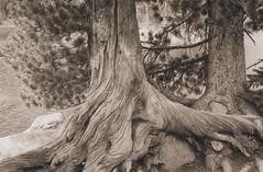 Whitebark pine 3, Chimney Lake, Eagle Cap Wilderness 2016 (Sara J. Lynch) Tags: sara j lynch eagle cap wilderness wallowas eastern oregon white bark pine tree old twisted chimney lake asahi pentax k1000 35mm film black trees francis bowman trail