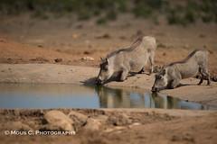 DSC02607.jpg (ChrMous) Tags: tamronsp150600mmf563 knobbelzwijn southafrica zoogdieren zuidafrika sonyslta99 animals 2016 commonwarthog phacochoerusafricanus