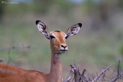 Impala ewe (leendert3) Tags: impala sunrays5 ngc npc coth5