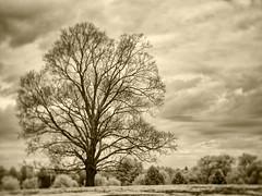 PB020442 - Lonely Tree (Syed HJ) Tags: olympusomdem5 olympusem5 olympus em5 fujian35mmf16 fujian35mm fujian 35mm cctvlens nashua nashuanh trees tree lonelytree golfcourse blackandwhite blackwhite bw infrared ir 720nm