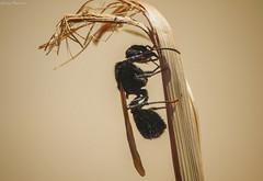 Hormiga alada / Flying Ant (GaboUruguay) Tags: canon sx50 powershot gabouruguay macro closeup raynox dcr250 animal nature natural insecto insecta bug insect flying ant wing winged alas alada hormiga formicidae hymenoptera macrofotografa detalles detail detalle camponotus close up formicinae animalia hexapoda pterygota neoptera endopterygota apocrita aculeata vespoidea salinas canelones personal aire libre makro fauna arthropoda uruguay fave favme exploreme explore macrolens lens rocha