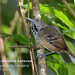 Checker-throated Antwren, Epinecrophylla fulviventris