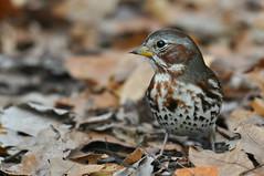 Fox sparrow (Mel Diotte) Tags: fox sparrow agm16