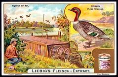 Liebig Tradecard S803 - The Common Teal (cigcardpix) Tags: tradecards advertising ephemera vintage liebig chromo birds