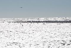 Sandy point (frank.king2014) Tags: herringgull ringbilledgull sandypoint