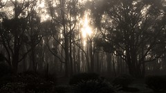 Morning Mist at Lal Lal (matt_axisa) Tags: lallal tree mist misty morning sun country countryvictoria australia spooky scary dark trees gumtree gumtrees nature art artistic canon canoneos canoneos600d eos eos600d 600d canon600d canonlens60mm 60mm 60mmlens 60mmmacrolens f28 light outdoor landscape plant forest