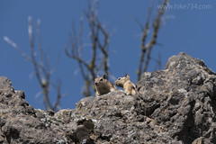 "Golden-mantled Squirrel • <a style=""font-size:0.8em;"" href=""http://www.flickr.com/photos/63501323@N07/30963305965/"" target=""_blank"">View on Flickr</a>"