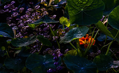 Glimmers of colour! (Steve-h) Tags: nature natura naturaleza flowers leaves shrubs bushes nasturtium colours colour orange green blue purple yellow black lowlight dublin ireland europe europa autumn fall november 2016 backlight contrajour contraluz pretty digital exposure canon camera lens ef eos steveh