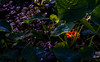 Glimmers of colour! (Steve-h) Tags: nature natura naturaleza flowers leaves shrubs bushes nasturtium colours colour orange green blue purple yellow black lowlight dublin ireland europe europa autumn fall november 2016 backlight contrajour contraluz pretty digital exposure canon camera lens ef eos steveh