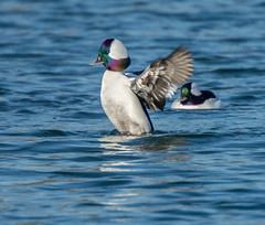 _DSC5291 (doug.metcalfe1) Tags: 2016 ashbridgesbaypark bufflehead dougmetcalfe fall nature ontario outdoor toronto bird duck