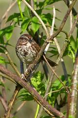Song Sparrow (Delta Naturalists Casual Birding) Tags: 201414 dncb colony dncblocation