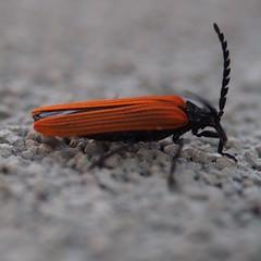 Bug (Thunder1203) Tags: olympusomdem10 hornedinsect bug dof macro insect