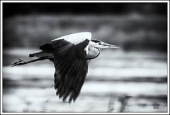 GREY HERON IN MONOCHROME (Mick Ryan Photography) Tags: birdlife blackandwhite leightonmoss heron flight wildlife nature monochrome birds