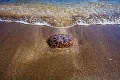 Chile 2013-1795 (sebtac) Tags: chile2013 chile 2013 arica outdoor sea shore animals