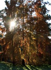 02-IMG_7059 (hemingwayfoto) Tags: baum frankfurt gegenlicht herbst herbstfärbung lärche lichtschatten palmengarten