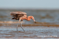 Reddish Egret Fishing (Let there be light (Andy)) Tags: texas texasbirds reddishegret egret fishing gulfofmexico bolivarpeninsula bolivarflats