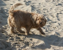 DSC02673 (2) (gdw1969) Tags: basset fauve de bretagne beach chipper dog pet