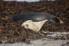 UUAAAAAAHHHHH bin ich vielleicht mde (karstenniehues) Tags: helgoland2016dne kegelrobbe kste insel helgoland seal sugetier wildlife