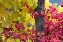 Le Langhe (beppeverge) Tags: barolo beppeverge colline dolcetto grapes italy landscape langhe moscato paesaggio roero uva vigna vigneti vineyard vino vitigni wine sandonato piemonte italia it