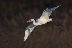 Silberreiher 018 (bertheeb) Tags: silberreiher reiher wasservogel