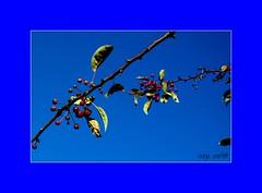 blue day (Sonja Parfitt) Tags: berries leaves branch sky blue
