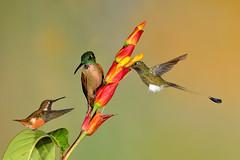 Distraction (3970) (Bob Walker (NM)) Tags: bird hummingbird ecuador tandayapa bootedrackettail ocreatusunderwoodii fawnbreastedbrilliant heliodoxarubinoides purplethroatedwoodstar calliphloxmitchellii ptwo 50kmnwofquito pichinchaprovince