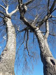 Tangled tree, knot hole, white bark, clear sunny day, Dash Point, Washington, USA (Wonderlane) Tags: 20161204112950 tangledtree knothole clearsunnyday dashpoint washington usa whitewood whitebark