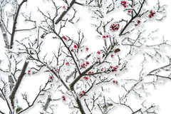 and turn the white snow red... (e-box 65) Tags: snow winter schnee white red weis rot deutschland kassel de germany branch tree baum zweig frost cold december ast frozen ice