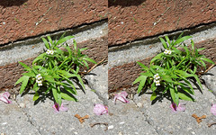 Tufts of Alyssum (Mandasmac) Tags: green garden 3d perfume sidewalk fragrant stereoview cracks alyssum parallelview xover