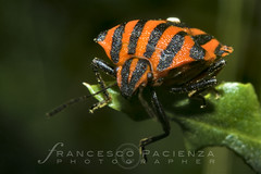 Graphosoma lineatum italicum - 7083 (Francesco Pacienza - Getty Images Contributor) Tags: life wild green animals insects critters natures microcosmos