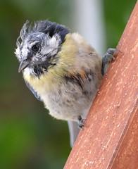 Federn gelassen... bluetit (s.muddie) Tags: summer bird nature sommer natur poor haggard wrecked bluetit vogel blaumeise mitgenommen harassed cyanistescaeruleus featherless kahlköpfig