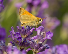 Lavender is my favourite colour (Ian-S) Tags: uk summer nature butterfly garden norfolk lavender