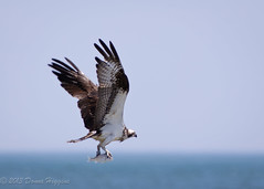(MissTessmacher) Tags: bird animal nikon teleconverter osprey 2x d90 70200f28vrii tc20eiii