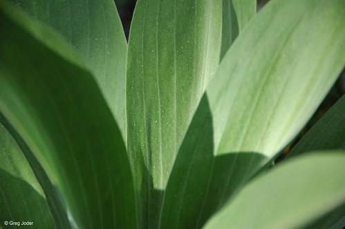 Photo - Leaves of a green gentian / monument plant.