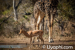 Timbavati (uyaphi) Tags: africa game southafrica south reserve krugernationalpark krugerpark kruger timbavati southafricaholiday southafricasafari