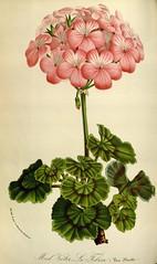 Anglų lietuvių žodynas. Žodis geraniaceae reiškia <li>geraniaceae</li> lietuviškai.