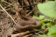 Cascades Copperhead (Christopher Wallace) Tags: pembroke virginia nikon snake va cascades serpent vr copperhead southwestvirginia 18200mm newrivervalley ophidia nrv southwestva ophidian littlestonycreek d7000