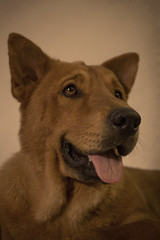 Gorda the 2 Year Old Chow Mom (Immature Animals) Tags: red arizona rescue dog cute tongue mom nose mix eyes tucson shaved mother adorable ears az canine marshall pima litter whiskers foster derek chow shave sick petco petfinder pacc derekmarshall petcofoundation barkbabyanimalrescuekoalitiontucson