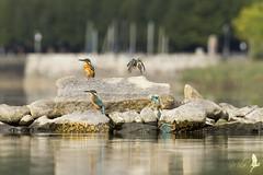 Martin pescatore femmina, sequenza di caccia [Explored] (_milo_) Tags: italy lake canon lago eos italia lac maggiore tamron sassi birdwatcher 70300 angera alcedoatthis martinpescatore 60d