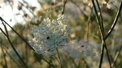 Queen Anne's Lace (ΞSSΞ®®Ξ) Tags: pentax queenanneslace k5 ξssξ®®ξ