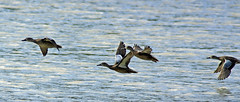 Ducks on the wing (blue winged teal) (carpingdiem) Tags: birds indianapolis bluewingedteal