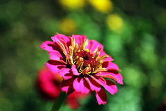 fleur-macro (sylvaing60) Tags: flower fleur closeup canon garden champs jardin provence campaign campagne verdure pature nacro canoneos600d