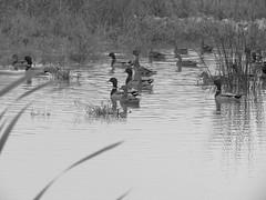 (William Keckler) Tags: blackandwhite white black duck october ducks structure mallard bianco nero biancoenero targetstores mallards manmadelake
