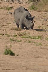 DSC_3226 (Arno Meintjes Wildlife) Tags: africa southafrica wildlife lion safari bigcat predator krugernationalpark krugerpark big5 blackrhinoceros pantheraleo dicerosbicornis hooklippedrhinoceros arnomeintjes
