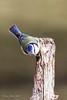 Blue Tit (Louise Morris (looloobey)) Tags: derek perch bluetit paruscaeruleus cannockchase 4854 april2013