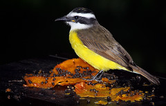 Bentivi (ariovaldomolinavidotto) Tags: birds photo natureza picture aves fotografia pssaros natures bentivi