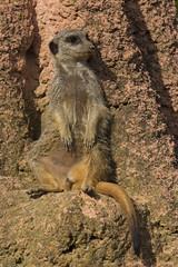 Meerkat (Mighty Badaboom) Tags: zoo hannover animal tier mammal säugetier gorilla erdmännchen
