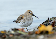 Dunlin (Calidris  alpina) {Explore} (DaveInman) Tags: ohio lake bird beach harbor sand nikon shore erie 500mm dunlin shorebird conneaut 500mmf4 d7000