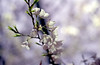 Cherry Blossom (dtanist) Tags: macro film lamp boston night analog cherry zoom blossom massachusetts sigma 400 walgreens ricoh 2880mm xrm